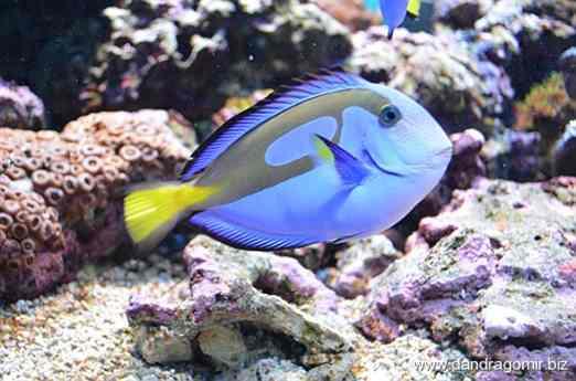 Peștele albastru din Finding Nemo? :-)