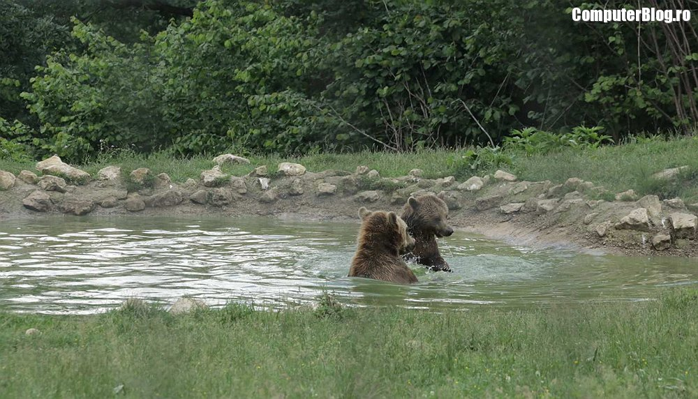 Ursi in piscina - Libearty Bear Sanctuary